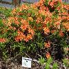 RhododendronBalzac.jpg 1024 x 768 px 262.52 kB