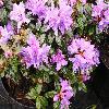 RhododendronBlueTitMagor.jpg 1024 x 768 px 223.21 kB