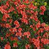RhododendronHugoHardijzer.jpg 1024 x 768 px 261.37 kB