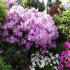 RhododendronLedicanense.jpg 1024 x 768 px 261.84 kB