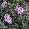 RhododendronLugano.jpg 1024 x 768 px 224.82 kB