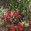 RhododendronNabucco.jpg 1024 x 768 px 273.91 kB