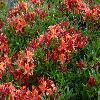 RhododendronPallas.jpg 1024 x 768 px 262.73 kB