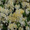 RhododendronSandraMarie.jpg 1024 x 768 px 184.83 kB