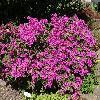 RhododendronSazava.jpg 1024 x 768 px 346.99 kB