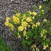 RhododendronYellowCloud.jpg 1024 x 768 px 310.16 kB