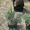 RhombophyllumDolabriforme3.jpg 1024 x 768 px 225.07 kB