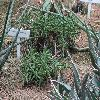 RhombophyllumDolabriforme.jpg 1204 x 903 px 322.59 kB