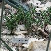 RhombophyllumNelii.jpg 1024 x 768 px 219.98 kB