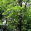 RobiniaPseudoacacia2.jpg 681 x 908 px 570.32 kB