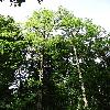 RobiniaPseudoacacia.jpg 681 x 908 px 454.15 kB