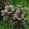 RodgersiaPodophylla4.jpg 1200 x 797 px 592.95 kB