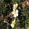 RosaAbyssinica.jpg 1080 x 810 px 164.41 kB