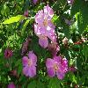 RosaAmblyotis2.jpg 1024 x 768 px 167.02 kB