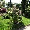 RosaAmblyotis.jpg 1024 x 768 px 315.93 kB