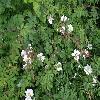 RosaArvensis2.jpg 1024 x 768 px 223.64 kB
