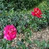 RosaKronenbourg.jpg 1024 x 768 px 288.24 kB