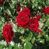 RosaLavaglut.jpg 1024 x 768 px 150.63 kB