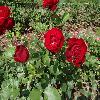 RosaLillyMarleen.jpg 1024 x 768 px 222.38 kB