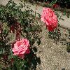 RosaSandra.jpg 1024 x 768 px 219.37 kB