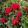RosaUncleWalter.jpg 1024 x 768 px 214.93 kB
