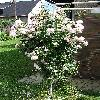Rosa.jpg 576 x 768 px 167.22 kB