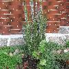 RosmarinusOfficinalis2.jpg 1127 x 845 px 251.94 kB
