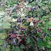 Rubus10.jpg 720 x 960 px 457.55 kB