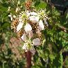 Rubus4.jpg 1024 x 768 px 139.23 kB