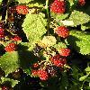 Rubus5.jpg 615 x 820 px 150.2 kB