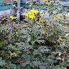 RudbeckiaLaciniataHerbstsonne.jpg 681 x 908 px 411.94 kB