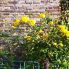 RudbeckiaLaciniataSp.jpg 717 x 960 px 418.8 kB
