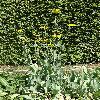 RudbeckiaMaxima.jpg 720 x 960 px 574.25 kB