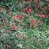 RusseliaEquisetiformis2.jpg 681 x 908 px 469.51 kB