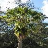 SabalMexicana.jpg 600 x 903 px 445.62 kB