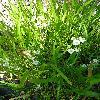 SagittariaTrifolia2.jpg 720 x 960 px 306.95 kB