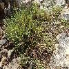 SalicorniaEuropaea.jpg 1024 x 768 px 353.06 kB