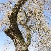Salix2.jpg 576 x 768 px 192.7 kB