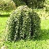 Salix6.jpg 576 x 768 px 190.84 kB