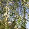 SalixAlba4.jpg 634 x 845 px 171.66 kB