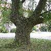SalixAlbaTristris.jpg 638 x 850 px 180.34 kB