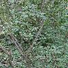SalixAlpicola2.jpg 681 x 908 px 427.75 kB