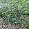 SalixAlpicola.jpg 681 x 908 px 514.75 kB