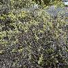 SalixArenaria.jpg 1024 x 768 px 354.2 kB