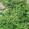SambucusNigra4.jpg 638 x 850 px 170.26 kB