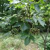 SambucusRacemosa2.jpg 681 x 908 px 345.47 kB
