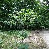 SambucusRacemosa.jpg 681 x 908 px 479.44 kB