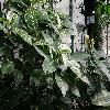 SancheziaNobilis.jpg 1110 x 833 px 227.21 kB