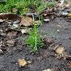 SantolinaRosmarinifolia.jpg 720 x 960 px 336.79 kB