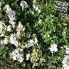SaponariaOfficinalis2.jpg 1127 x 845 px 258.87 kB